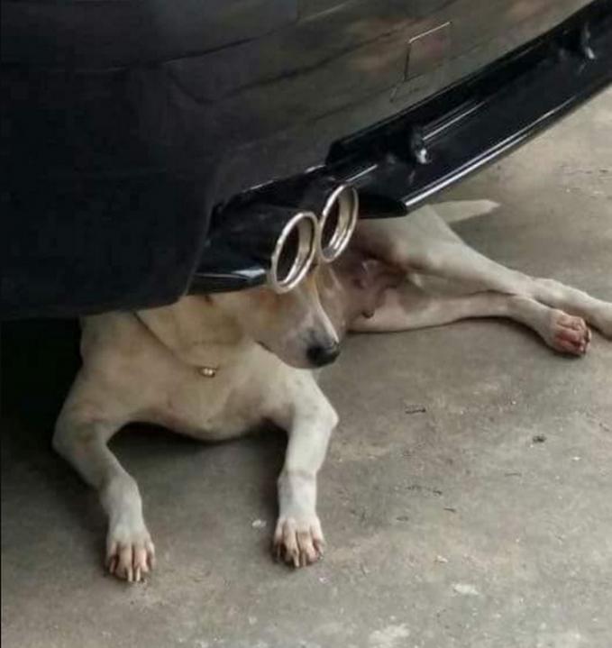 Anjing yang duduk dibawah knalpot mobil seolah seperti sedang memakai kacamata.