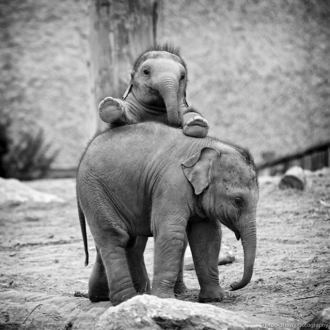 Kedua anak gajah kakak beradik ini sedang bermain-main saat lagi santai Pulsker.
