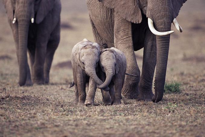 Nggak mau pisah nih dari saudaranya gengs. Gimana, lucu-lucu kan aksi gajahnya di alam liar? (Sumber: Bored Panda)