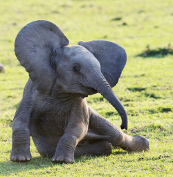 Aksi Lucu nan Menggemaskan nak Gajah di Alam Liar yang Membuatmu Tersenyum