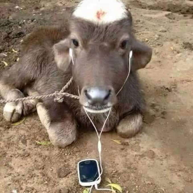 Bukan cuma manusia aja, di India sepertinya sapi juga butuh hiburan.