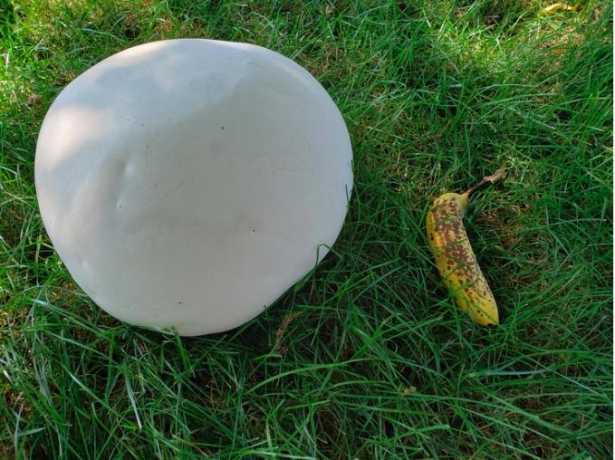 Bukan bola, tapi sebuah jamur yang tumbuh di halaman rumah seseorang.