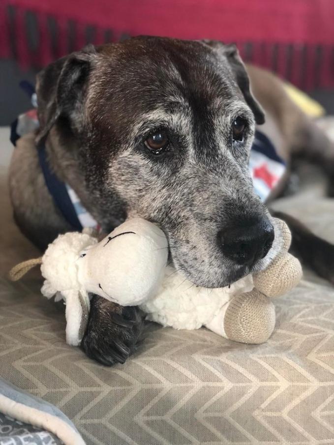 Kini si anjing nggak sendirian lagi deh karena dia punya teman baru meski hanya sebuah boneka.