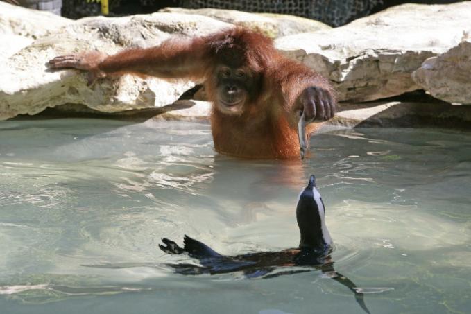 Ternyata di dunia hewan juga berlaku lho nilai-nilai kebaikan terhadap sesama. Seperti ditunjukkan oleh orang utan ini contohnya.