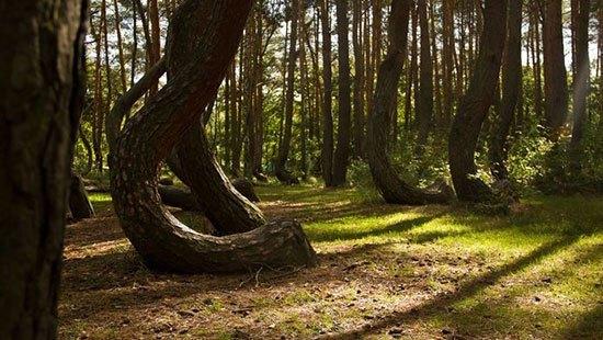 Crooked Forest (Polandia) Misteri dari Crooked Forest ini ada pada pohon pohonnya yang melengkung dalam bentuk yang sama. Namun tak ada yang mengetahui penyebabnya hingga kini. Meski begiti diperkirakan sekitar 400 pohon pinus ditanam di hutan yang terletak di luar Nowe Czarnowo Polandia ini sekitar 1930 lalu dengan dibentik melengkung secara alami sebagai bahan baku pembuatan kapal.