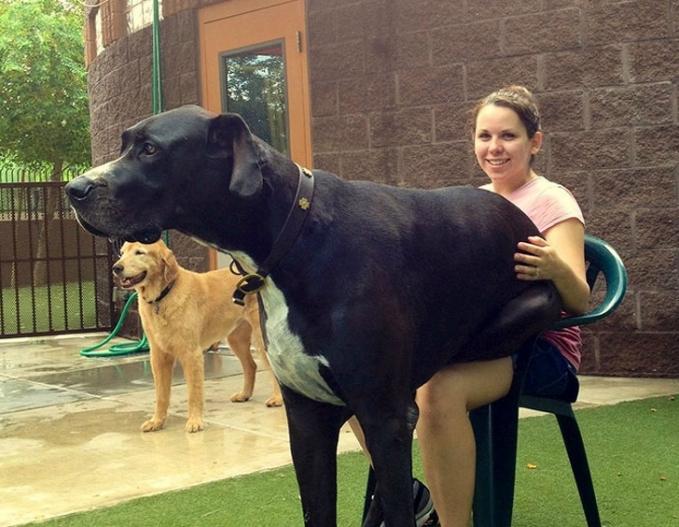 Si mbaknya aja sampai kewalahan, nahan berat si anjing maksudnya sob.
