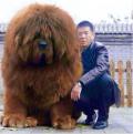 Potret Anjing Peliharaan Berukuran Raksasa Bersama Pemiliknya