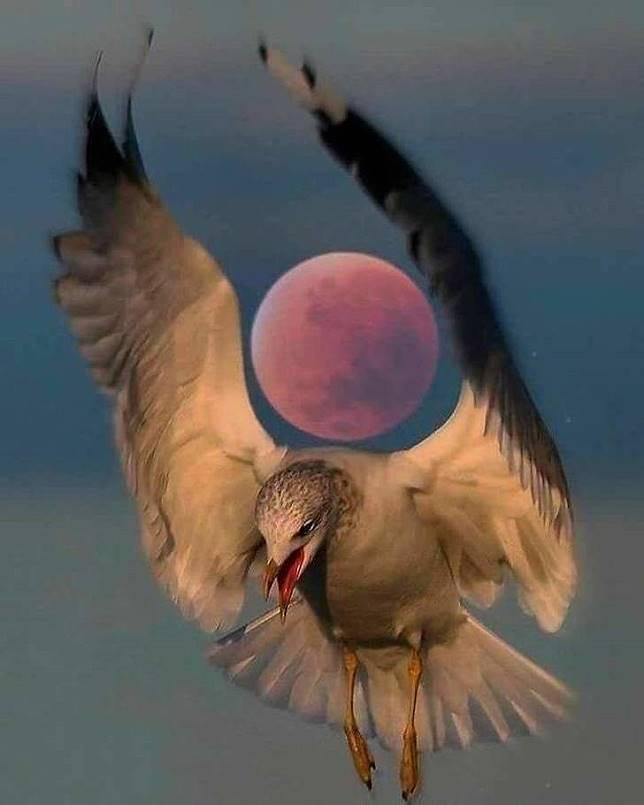 Tepat pada waktunya, burung ini terlihat seperti menggendong bulan.