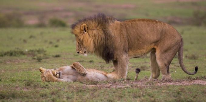 Waduh, si singa betinanya nampaknya lagi ngambek tuh pas disamperin sama si jantan.