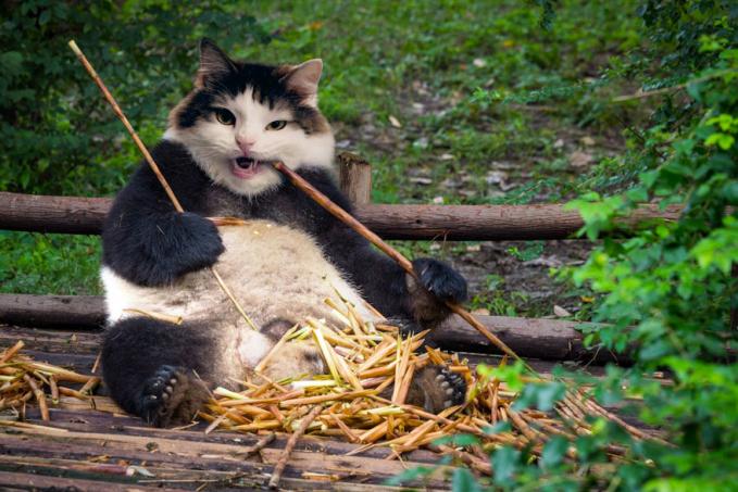 Perpaduan kucing dengan panda ya begini nih Pulsker hasilnya.