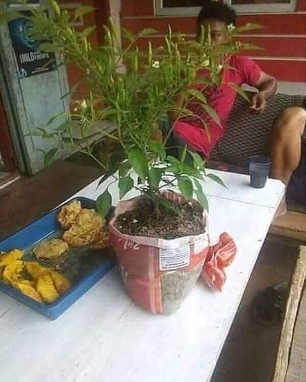 Ini baru mantap guys, makan gorengan cabainya tinggal metik langsung dari pohonnya.