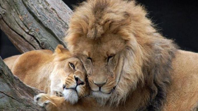 Dibalik sifat buasnya, mereka ternyata saling mengasihi tuh guys.