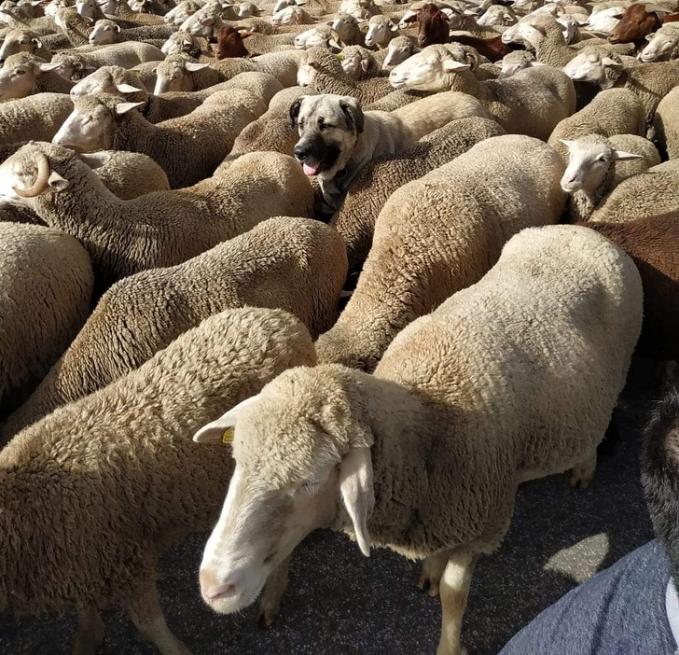 Temukan hewan lain selain domba pada foto di bawah ini.