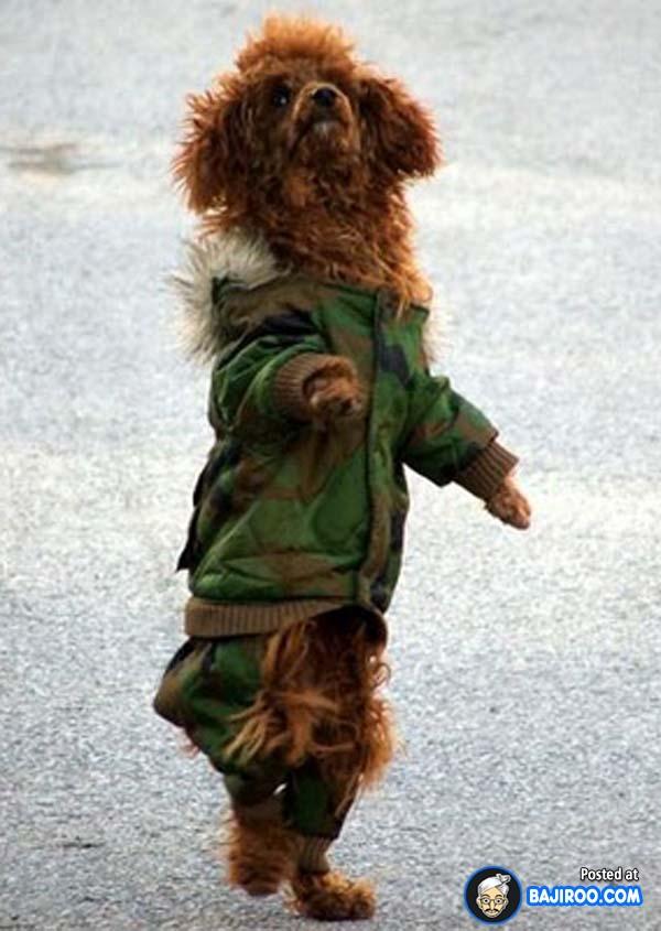 Baju aja udah ala militer, posisi juga harus berdiri tegap dan sempurna gengs biar makin klop. Baru tau kan sekarang kalau anjing juga bisa berdiri sempurna dengan menggunakan dua kaki?. Anjing peliharaan kalian dirumah bisa nggak?.
