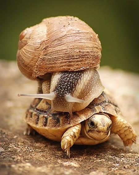 Si siput nampaknya lelah berjalan sendirian. 'Alon-alon asal kelakon, Bro !' yang penting selamat walaupun lambat.