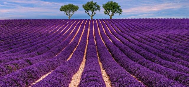 Ladang bunga Lavender Perancis. Perancis juga puNHya ladang Lavender yang sangat indah. Ladang ini berada di Prevence, bagian tenggara Perancis yang berbatasan dengan laut tengah dan Italia. Warna, tekstur dan aroma ladang lavender merangkum banyak esenci provence. Kamu bisa meniknmati ladang lavender dengan mobil, berjalan kaki ataupun sepeda. Salah satu spot paling menarik di sini adalah di lapangan di depan biara Senanque dekat Gordes.