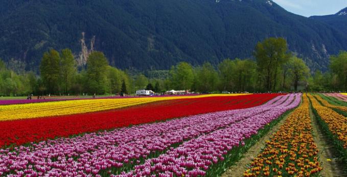Festival Tulip Kanada Festifval tulip di sini akan selalu digelar sangat meriah. Terdapat 30 jenis tulip yang berwarna warni yang terhampar di tanah seluas 40 hektare. Setiap tahunnya acara diadakan di tempat yang berbeda. Tahun lalu festival diadakan di lembah Fraser. Tahun ini diadakan pada bulan April.