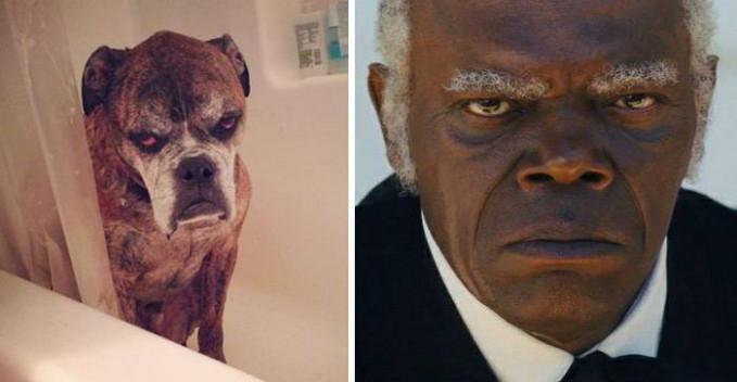 Ekspresi dan lirikan tajam si anjing jika disejajarkan dengan wajah Samuel L. Jackson hampir sama tuh.