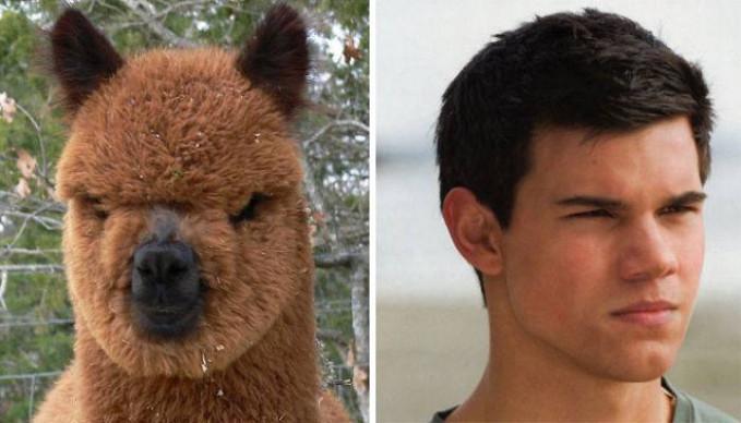 Nah, hewan lucu ini namanya alpana gengs. Coba deh kalian liat, kok mirip sama wajah Taylor Lautner ya?.