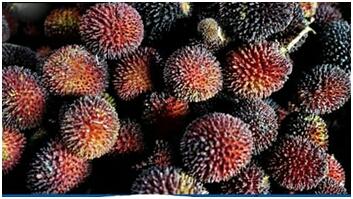 Buah Maritam Buah Maritam adalah buah jenis rambutan tapi tidak berbulu. Rasanya manis dan dagingnya sama dengan rambutan.