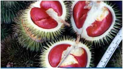 Buah Medan Durian ini kulitnya sama dengan durian pada umumnya. Namun uniknya daging buahnya berwarna merah. Rasanya pun sama dengan durian pada umumnya, namun ukurannya lebih kecil dari durian biasa.