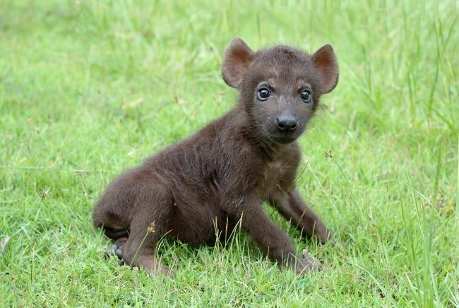 Bayi hewan predator menggemaskan lainnya adalah bayi hyena. Keliatannya dia masih belum bisa apa-apa. Maklum, masih kecil.