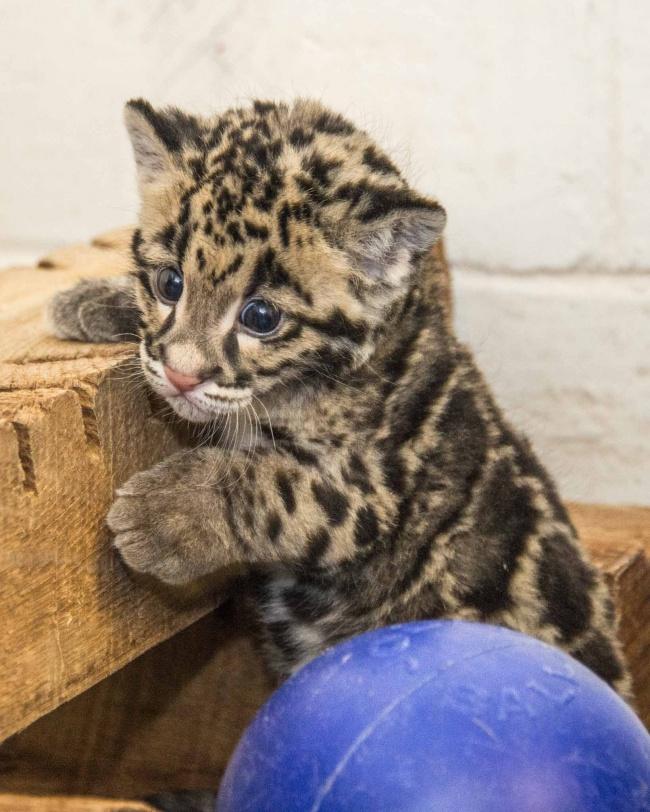 Pasti kalian terkecoh dan mengira ini adalah seekor kucing. Bukan gengs, dia adalah seekor bayi macan tutul lho.