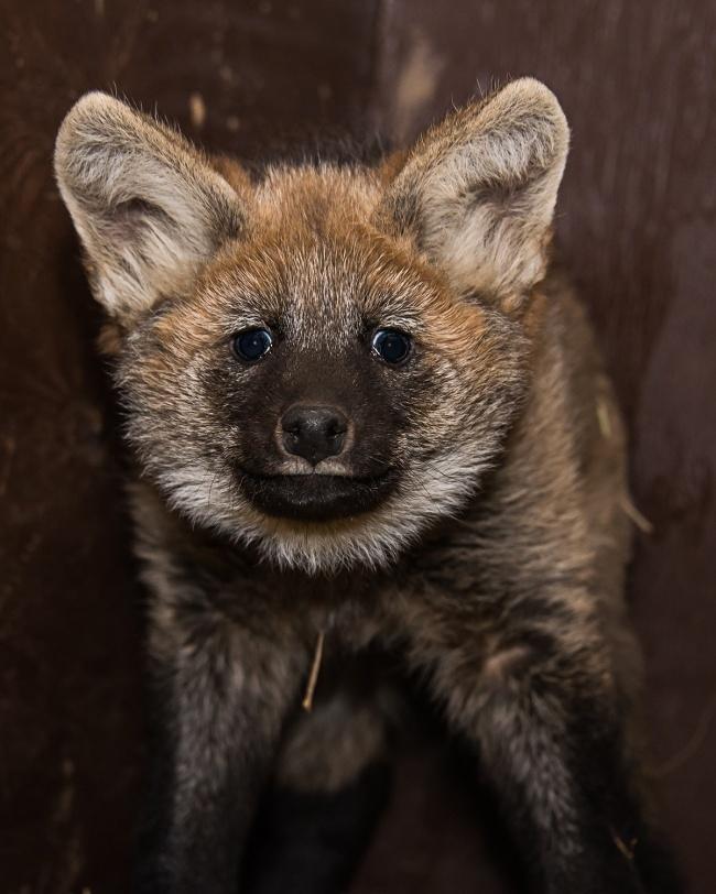 Sama halnya dengan dia, kalian mungkin mengiranya adalah anak anjing. Ya, mirip dikit lah mungkin dia sepupunya. Dia adalah anak dari seekor serigala. Lucu-lucu ya Pulsker bayi hewan predatornya?. Beda banget kalau mereka udah dewasa. Lucu hilang dan berganti jadi hewan sangar.