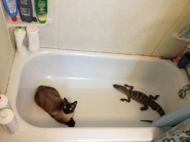 Si kucing mencoba mengamankan hewan tak diundang yang masuk ke dalam rumah dan sembunyi di kamar mandi.