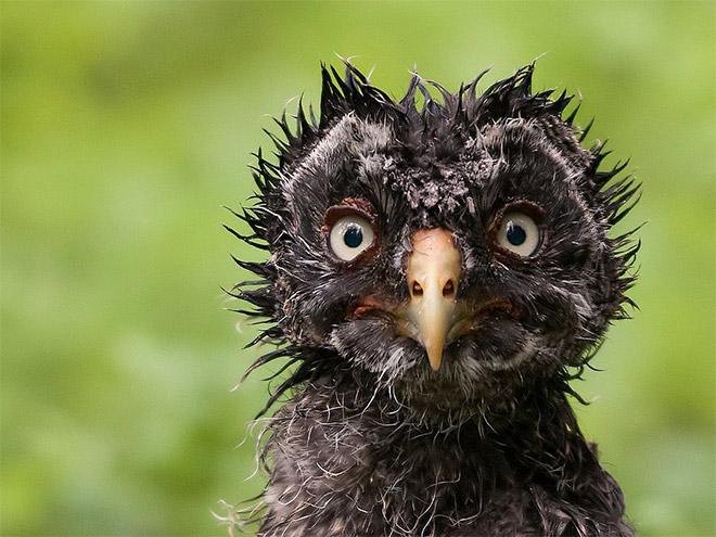 Anak burung hantu dengan sorot mata yang tajam siap mematok siapa saja. Ada yang berani melawan?.