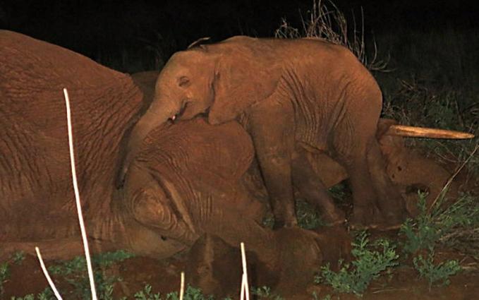 Anak gajah ini tak kuasa menahan kesedihan saat ditinggal mati ibunya gengs. Peristiwa ini terjadi di Sarumbu, Kenya. Dan penjaga di David Sheldrick Wildlife Trust, Kenya Wildlife Service and Save the Elephants lantas membawa anak gajah tersebut untuk melindunginya dari serangan predator dan perburuan.