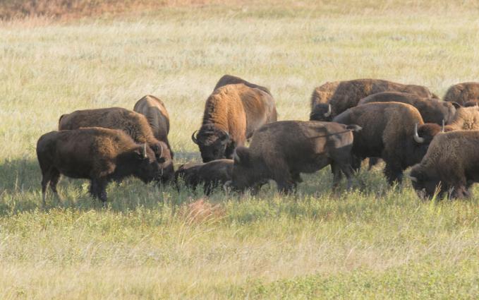 Sekawanan bison juga tertangkap kamera sedang mengerubuti bangkai kawannya yang mati selama beberapa waktu di Wind Cave National Park, Dakota Selatan, AS.