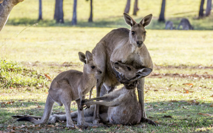 Foto kanguru mati dalam dekapan pejantan hasil jepretan Evan Sitzer di Quensland, Australia ini memang menyentuh. Namun, ada perdebatan apakah benar sang jantan berduka atau ingin melakukan hubungan badan dengan si betina Pulsker.