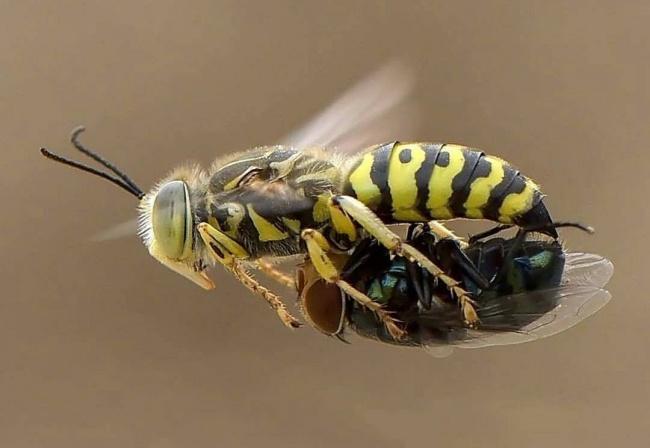 Seekor lebah tertangkap kamera sedang mengangkat serangga lainnya yang lagi tak berdaya.