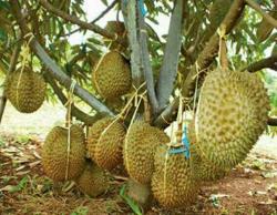 Sudah Coba Belum Durian Paling Enak di Indonesia