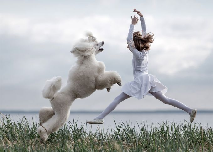 Dengan lincahnya anjing poodle berwarna putih lebat ini menirukan aksi sang anak menari balet Pulsker.