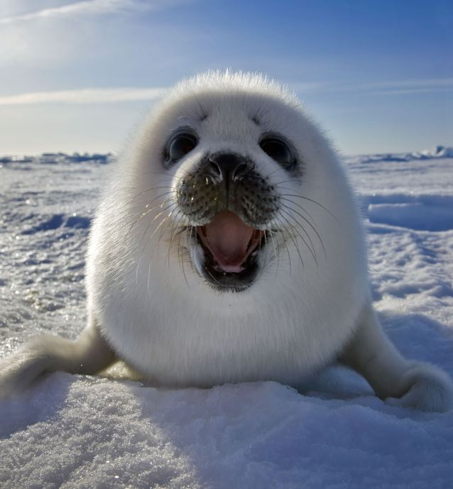 Bayi Anjing Laut