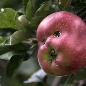 Buah apel ini bentuknya sangat unik. Nggak seperti apel yang biasa kita temui. Seperti bentuk raut muka seseorang. Ada mata, hidung, bahkan mulut. Ehem, aneh ya.