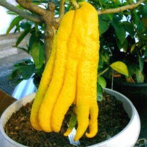 Bentuk buah yang aneh juga ditemui adalah tangan Budha. Buahnya berbentuk seperti tangan yang aneh. Biasanya juga disebut tangan dewa.