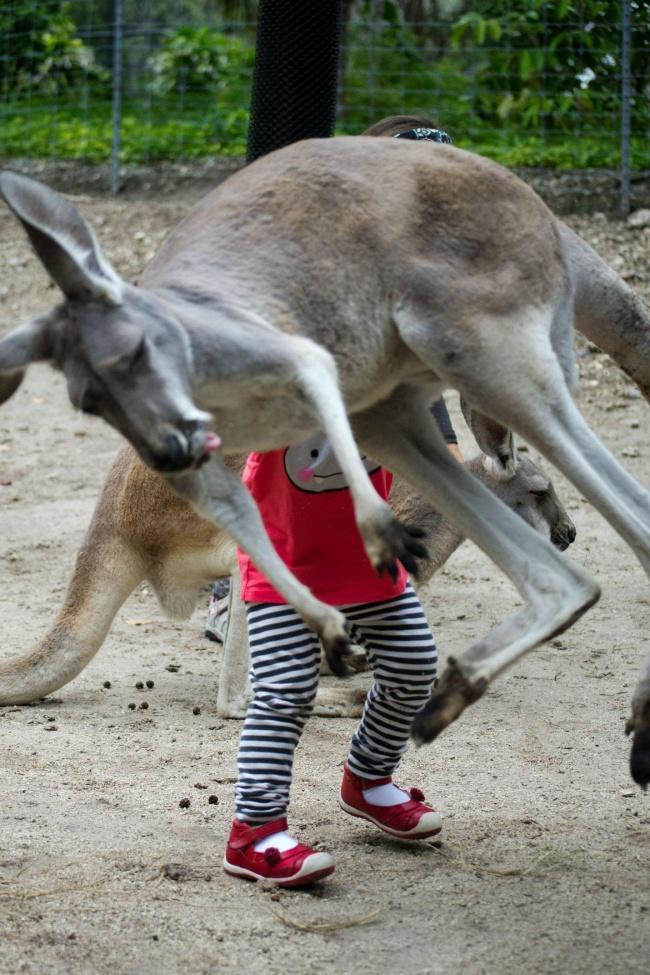 Duh, kurang dikit lagi kena si anak kecilnya tuh kanguru. Untung aja nggak kenapa-kenapa.
