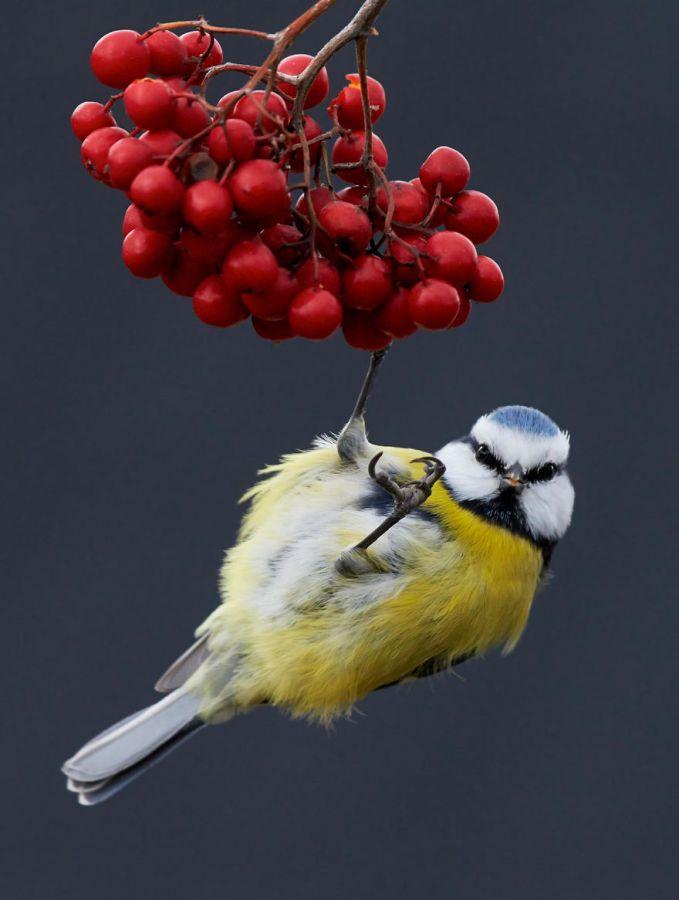 Seekor burung yang bergantung pada buah berhasil diabadikan oleh fotografer asal Helsinski, Finlandia bernama Markus Varesvuo.