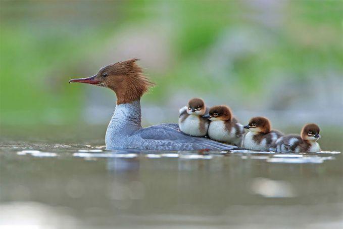 Masih dari hasil jepretan fotografer Inggris, kali ini Jonathan Gaunt merekam momen saat induk angsa yang sedang berenang membawa anak-anaknya.