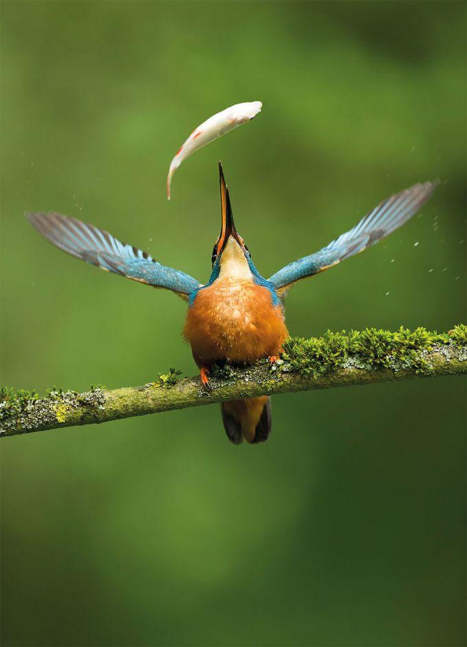 Detik-detik menjelang seekor ikan jatuh ke dalam mulut burung diabadikan oleh Vince Burton, fotografer asal Inggris.