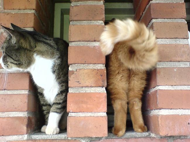 Seperti kucing yang memiliki dua warna tubuh yang berbeda.