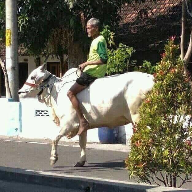 Apa yang kamu pikirkan jika ada bapak - bapak yang menunggangi sapi ..?