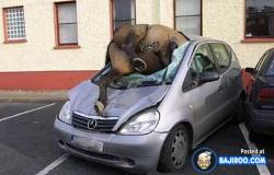 Foto Kecelakaan antara Mobil VS Hewan Paling Parah