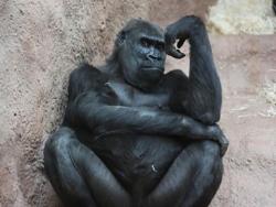 Nggak Cuma Manusia Saja, Primata Juga Bisa Galau Lho!