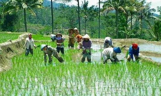 Petani Ayo gimana jadinya jika nggak ada petani, pasti kita akan mati kelaparan lo.