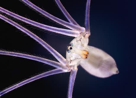 Penampakan laba-laba berkaki delapan atau dalam dunia satwa dikenal dengan nama 'cellar spider'. Wah, nggak nyangka ya Puslker ternyata serangga punya keunikan yang menakjubkan kalau dilihat dari dekat. Dari sini kita juga dapat melihat betapa indahnya makhluk ciptaan Tuhan ini.
