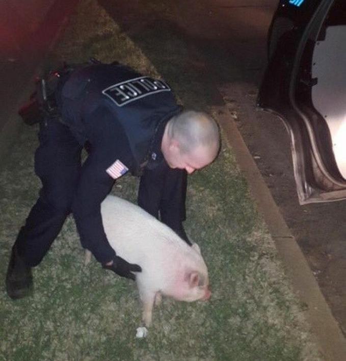 Bukannya menangkap maling, polisi ini malah menangkap babi yang lepas dari kandang